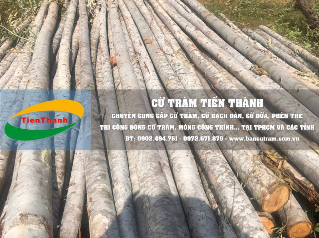 Tiến Thành mua bán cây chống Bạch đàn, cừ bạch đàn, cột chống gỗ bạch đàn