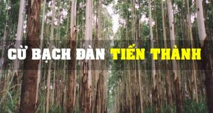 Báo Giá Cừ Bạch Đàn】Mua bán cây chống bạch đàn, Cọc bạch đàn